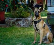 Hij is Hercules, is hij mijn Hond royalty-vrije stock foto
