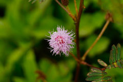 Hija tímida de la flor Fotografía de archivo libre de regalías