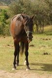 Hijgend paard Royalty-vrije Stock Foto's
