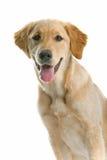 Hijgende hond stock foto's