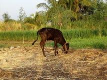 Hijos de la vaca Foto de archivo libre de regalías