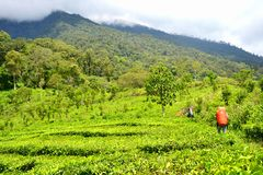 Hike beside afdeling. Mount Buthak in Indonesia have altitude 2985 meters above sea level, for reach the peak, you must through afdeling tea plantation first and royalty free stock photography