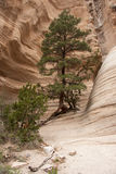 Hike through Tent Rocks National Monument. A tree is growing in the canyon Stock Photography