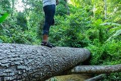 Hiker идя на ствол дерева в лесе Стоковое фото RF
