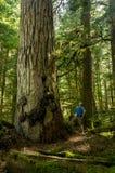 Hiker и ель старого роста Стоковая Фотография