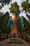 Hiker, admiring Giant Sequoia trees General Sherman Stock Photos
