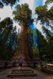 Hiker, admiring Giant Sequoia trees General Sherman Royalty Free Stock Images