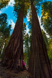 Hiker, admiring Giant Sequoia trees Stock Image