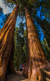 Hiker, admiring Giant Sequoia trees Stock Photos