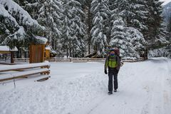 Hiker, with big backpack, is walking on the road. Among huge pine trees covered with snow. Epic winter adventure Royalty Free Stock Photos