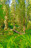 Hiker and Bridge Dwarfed by the Redwood Forest Royalty Free Stock Image