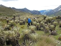 Hiker in colombian paramo highland of Cocuy National Park, surrounded by the beautiful Frailejones plants, Espeletia royalty free stock photo