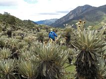 Hiker in colombian paramo highland of Cocuy National Park, surrounded by the beautiful Frailejones plants, Espeletia royalty free stock photos