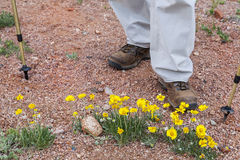 Hiker and desert wildflowers Royalty Free Stock Photo