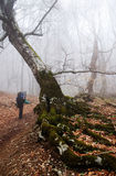 Hiker in forest and fog. Hiker on a forested trail with fog Stock Images
