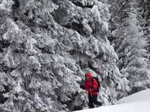 Hiker go on slope with new-fallen snow in snow-covered forest at gray winter day after snowfall. royalty free stock images