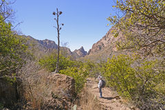 Hiker looking at the remains of a century plant stalk. In Big Bend National Park in Texas Royalty Free Stock Photo