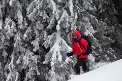 Hiker makes his way on snowy slope in snow-covered forest at winter day after snowfall. Carpathian Mountains, Ukraine. Remote royalty free stock photos
