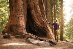Hiker man in Sequoia National Park. Traveler male looking at the giant sequoia tree, California, USA.  stock photos