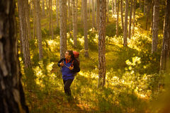 Hiker man walks in a pine yellow autumn forest. Backpacker enjoys golden fall landscape. Stock Photo