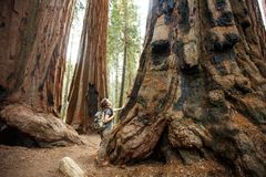 Hiker in Sequoia national park in California, USA stock images