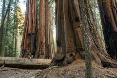 Hiker in Sequoia national park in California, USA stock photos