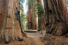 Hiker in Sequoia national park in California, USA stock image