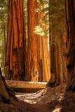 Hiker in Sequoia national park in California, USA. Hiker in Sequoia national park in California. USA stock photography