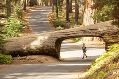 Hiker in Sequoia national park in California, USA.  stock images