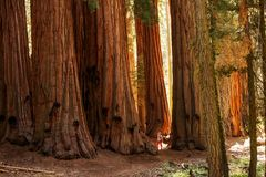 Hiker in Sequoia national park in California, USA.  royalty free stock photo