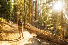 Hiker in Sequoia national park in California, USA.  stock image