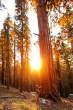 Hiker in Sequoia national park in California, USA.  stock photos