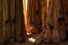Hiker in Sequoia national park in California, USA.  royalty free stock photos
