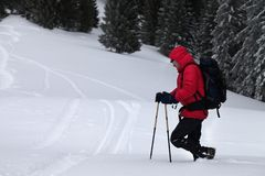 Hiker with ski poles makes his way on off-piste snowy slope in snow-covered forest at gray winter day after snowfall. stock photography