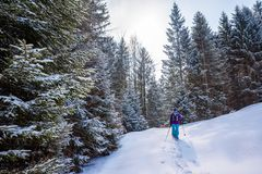 Hiker with snowshoes on snow trail in winter landscape of forest in Oberstdorf, Bavaria Alps in South of Germany. Beautiful. Landscape with coniferous trees and stock photography
