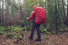 Hiker tourist travels to green mountain forest in the fog with the red backpack in rainy weather. The concept of travel and Hiking in wild places of nature Royalty Free Stock Photography