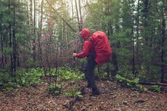 Hiker tourist travels to green mountain forest in the fog with the red backpack in rainy weather. The concept of travel and Hiking in wild places of nature Stock Photos