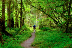 Hiker on a Trail Through The Vibrant Hoh Rainforest. Stock Photo