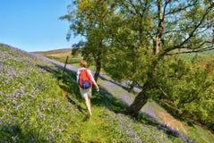 Hiker walking through bluebells stock images