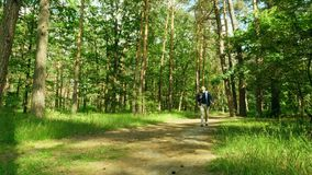 Hiker walks on a summer forest. Traveling in  woodland. Hiker walks on a summer forest. Traveling in the woodland stock footage