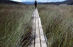 Hiker on Wooden Walkway. A hiker walks across a protective, wooden walkway across the high grass of a protected marsh and wetlands on the trail from Freshwater Stock Images