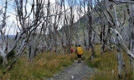 Hikers на следе через серебряный лес в национальном парке Torres del Paine, Патагонии Чили Стоковое Изображение RF