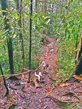 Hikers climbing downslope in rainforest. A group of hikers using ropes to climb down a steep slope along a trail in the tropical rainforest at Cemerong Royalty Free Stock Photo
