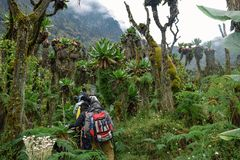 Hikers in the Rwenzori Mountains, Uganda royalty free stock photography