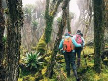 Hikers in the Rwenzori Mountains, Uganda. Hikers in the dense rainforest of Rwenzori Mountains National, Kasese District, Uganda royalty free stock photos