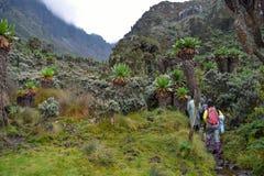 Hikers in the dense rainforest of Rwenzori Mountains, Uganda royalty free stock photos