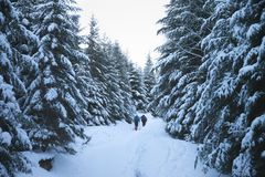 Hikers go up on snow slope in snow-covered spruce forest at winter morning. After snowfall. Carpathian Mountains, Ukraine. Cold toned landscape stock photo