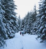 Hikers go up on snowy foot path in snow-covered spruce forest at. Winter morning after snowfall. Carpathian Mountains, Ukraine. Cold toned landscape royalty free stock photography