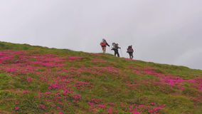 Hikers and mountain flowers Rhododendron myrtifolium in Carpathians stock video