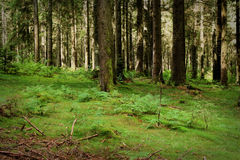 Hiking along a path in the Black Forest, Germany Royalty Free Stock Photo